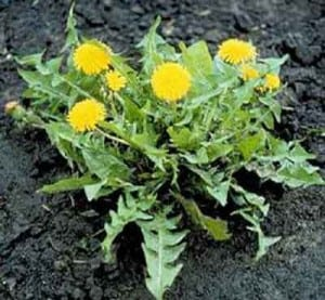 weed control methods include a general understanding of what weeds need to survive.